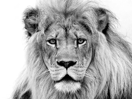 Male Lion by William Franklin art print